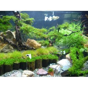 産地直送水草 永代熱帯魚 小売部   産地直送水草  永代熱帯魚 小売部