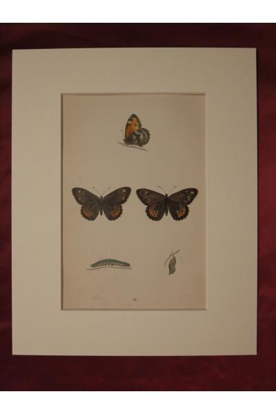 F・O・モリス,博物画,蝶,チョウ,...