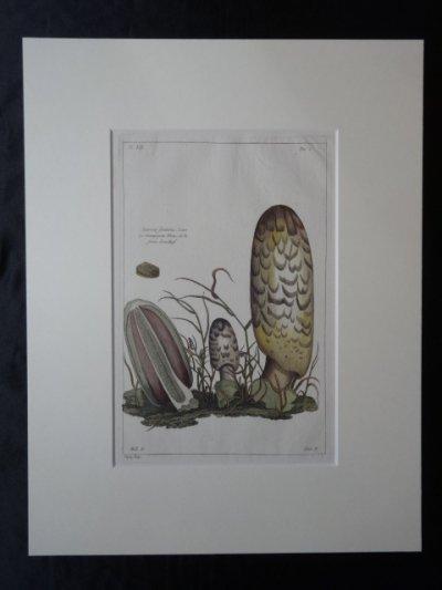 『植物図譜』アガリクス・フネタリウス 54,000円  アンティーク・ボタニカルアート(ルドゥー