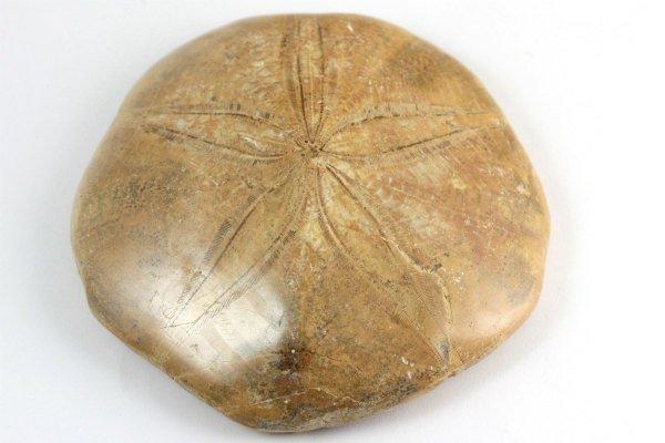 ウニ (タコノマクラ) 化石 191g ...