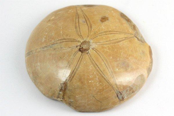 ウニ (タコノマクラ) 化石 144g ...