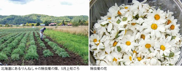 除虫菊の畑