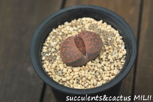 リトープス 紫褐紫勲 C204 (L)