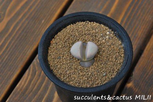 リトープス 菊水玉 C272