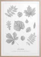 Kunskapstavlan (クンスカップスターブラン) | SWEDISH LEAVES (Pencil drawings) | アートプリント/アートポスター (30x40cm) 北欧の商品画像
