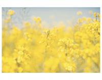 SWEET DREAMS & HONEY | OILSEED RAPE | フォトグラフィ/ポスター