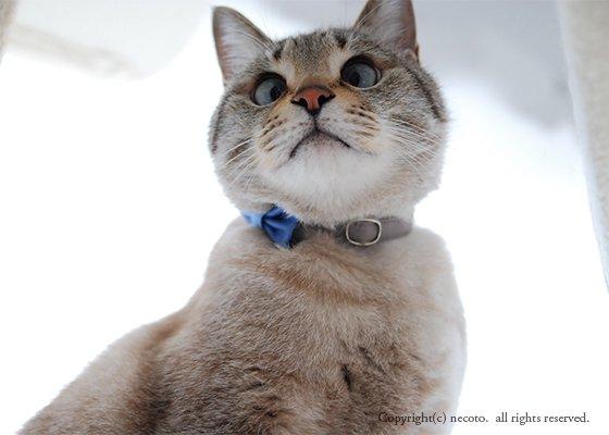 猫の首輪/やわらかコットン【リボン付き/ベリー×グレー】