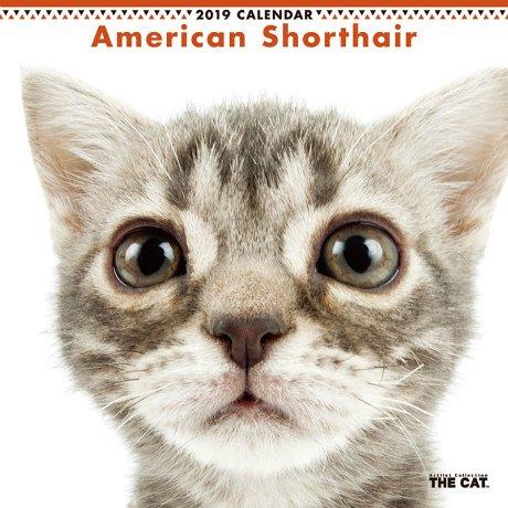 アメリカン・ショートヘアの画像 p1_12