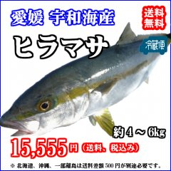 愛媛産 【 ヒラマサ (平政) 】(4-5kg) 鮮魚 下処理済み 浜から直送 送料無料 宇和海の幸問屋