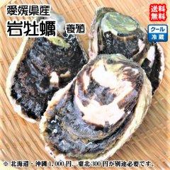 愛媛県産【 岩牡蠣 】 20個入り (選べる!養殖、天然)期間限定 宇和海の幸問屋 送料無料