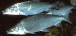 信濃ユキマス活魚 1kg1尾の商品写真