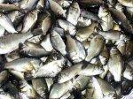 養殖用 佐久鯉の稚魚 5〜7cm 20尾の商品写真