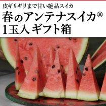 春のアンテナスイカ®1玉入ギフト箱【皮ギリギリまで甘い絶品スイカ】