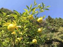 青山さんのゆず果実 約1kg(約12から17個入り)【ゆずの産地からお届け】