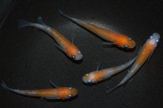 【村長現物】紅白ラメ オス3匹メス2匹 K0303-1