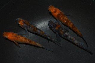 【現物】3色ラメ幹之&朱赤錦ラメ オス2匹メス2匹 No.0307-2