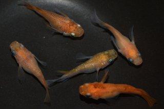 【現物】体色・体型・種類イロイロメダカセット オス4匹メス4匹+2 No.5-209