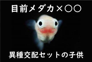【セット】目前透明鱗×小雪のF3 オス2匹メス3匹 No.5-244