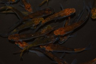 【セット】おまかせセット!オレンジ黒ブラックリムラメメダカ オス3匹メス3匹 No.6-305-1