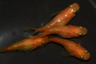 【現物】オレンジラメ半ダルマメダカ オス2匹メス2匹 No.0402-7