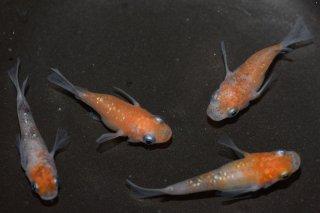 【現物】3色ラメ&紅白ラメダルマ・半ダルマセット オス2匹メス4匹 No.7-336