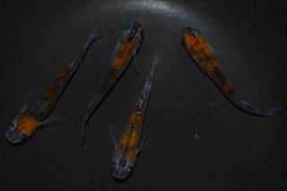 【現物】オレンジ黒オーロララメ オス2匹メス2匹 No.0516-1