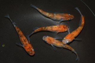 【現物】紅白ラメの子供 朱赤錦ラメメダカ オス3匹メス2匹 No.0520-7