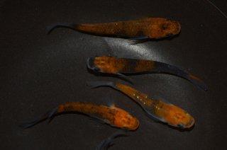 【現物】オレンジ黒オーロラメダカ オス2匹メス3匹 No.0520-5