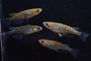 【現物】琥珀黒オーロララメ オス2匹メス2匹 No.0528-9