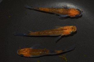 【現物】オレンジオーロララメメダカ オス2匹メス2匹 No.0608-5