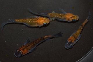 【現物】オレンジ黒ブラックリムラメ オス2匹メス2匹 No.0608-4