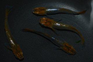 【現物】琥珀透明鱗ヒカリメダカ(ホホ無し透明鱗入り) オス2匹メス2匹 No.12-630
