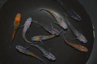 【現物】オレンジ黒オーロララメの兄弟 オス5匹メス5匹 No.0710-3