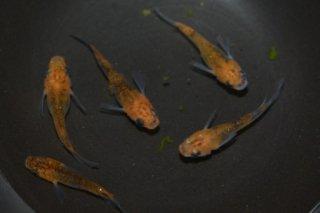 【現物】オレンジ黒オーロラ半ダルマメダカ オス2匹メス3匹 No.16-940