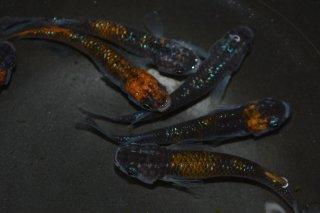 【現物】オレンジ黒ブラックリムラメの兄弟 オス6匹メス4匹 No.17-994