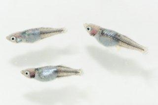 【現物】清流きりゅう ヒカリ体型 オス2匹メス2匹 No.18-1022