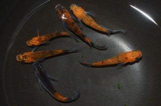 【現物】ブラックリム入り!オレンジ黒オーロララメメダカ オス3匹メス3匹 No.0904-8
