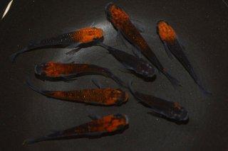 【現物】半ダルマ入り!オレンジ黒オーロララメ オス4匹メス4匹 No.26-1556