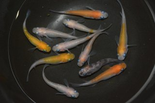 【セット販売】灯ラメの子供 オス5匹メス5匹 No.27-1602