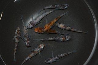 【セット販売】雲州三色の子供 オス3匹メス7匹 No.27-1596