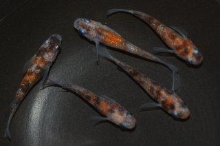 【現物】三色ラメ幹之 オス2匹メス3匹 No.1128-3