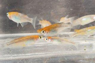 【村長現物】オレンジ黒ブラックリムラメ オス3匹メス6匹 No.K0111-1