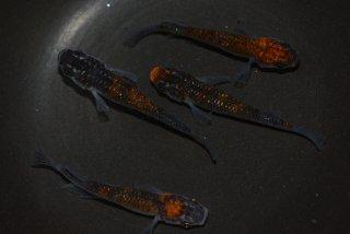 【村長現物】メビナ×灯のF2 オレンジ黒オーロララメ オス2匹メス2匹 No.K0116-1