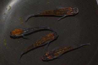 【現物】(メビナ×灯ラメF2)オレンジ黒オーロララメ オス1匹メス3匹 No.0120-3