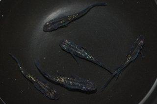 【現物】黒ラメ幹之スワロー オス2匹メス3匹  No.0213-4