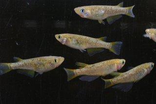 【現物】黄金ラメ オス3匹メス3匹  No.0920-10