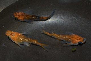 【現物】オレンジオーロララメダルマ・半ダルマ オス2匹メス2匹  No.0924-1715