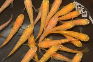 【セット特価】オレンジラメ 26-1919
