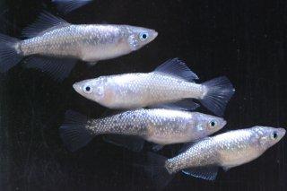 【現物】白極ラメヒカリ×オーロラブラックラメ オス3匹メス3匹  No.0217-9S