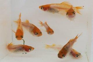 【村長現物】紅×スワローの子供 オス3匹メス5匹+1匹 No.K0228-4